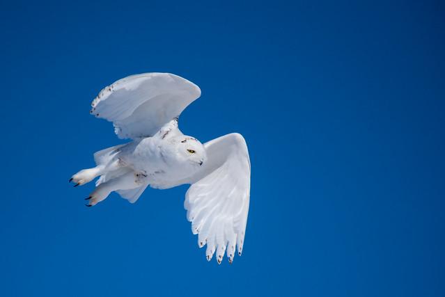 1804_0182 Snowy Owl
