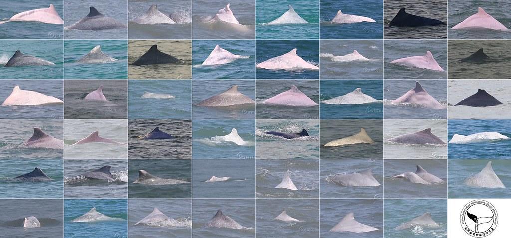 已辨識47隻白海豚亮相。圖片來源:海保署