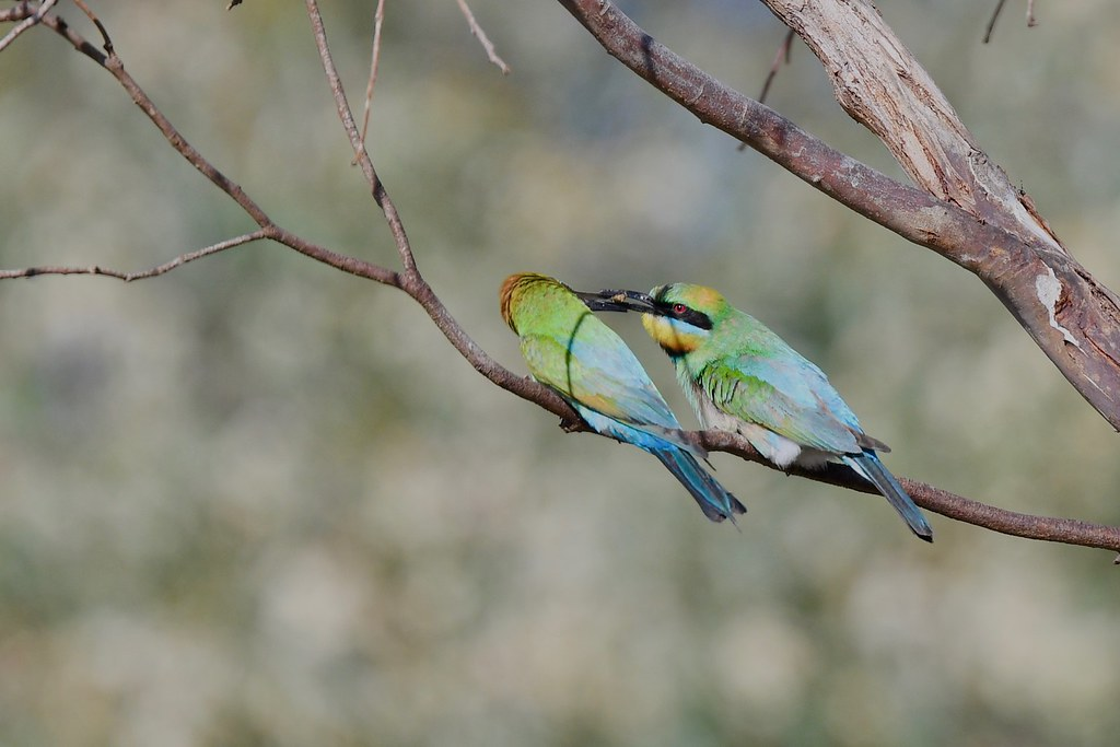 Rainbow Bee-eaters ( sharing )