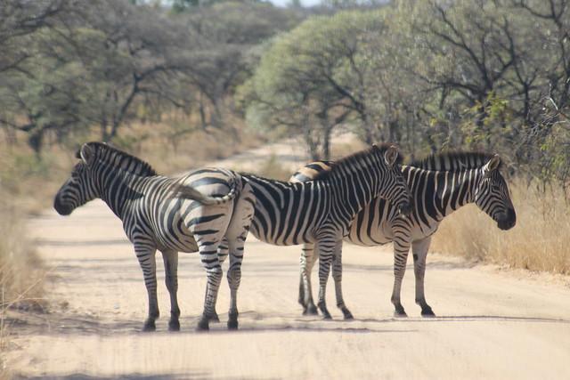 Zebra trio on the road