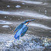 Kingfisher -202001220123.jpg