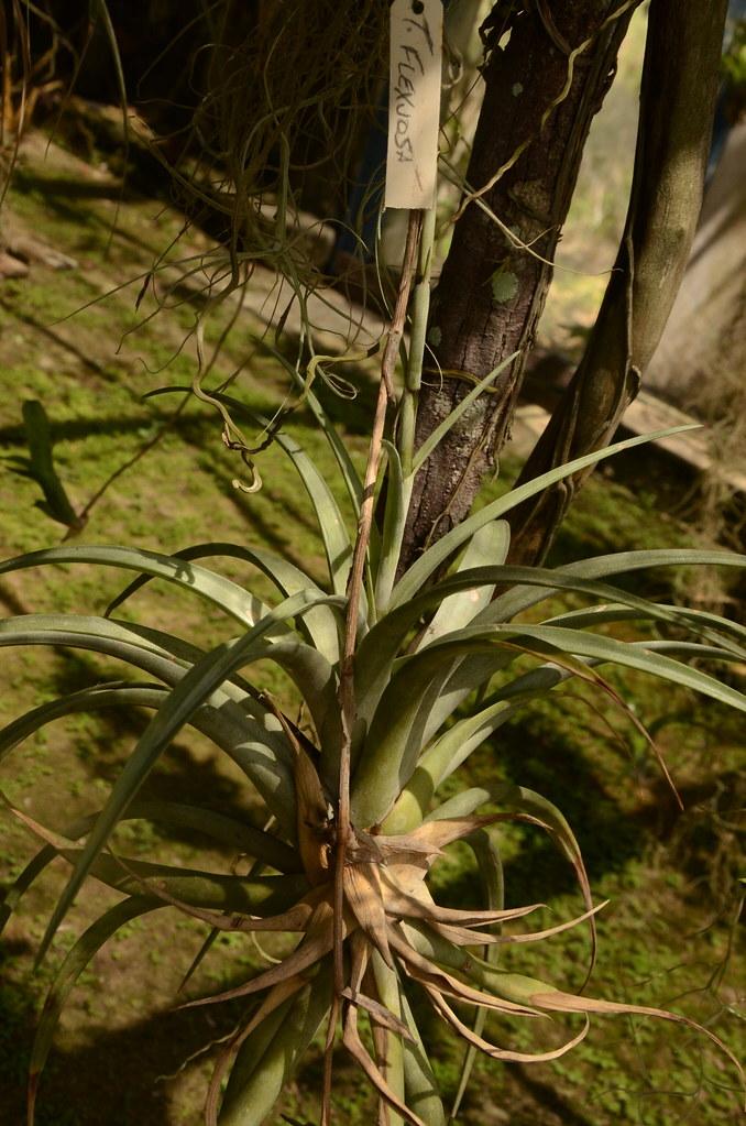 Tillandsia flexuosa Bromeliaceae