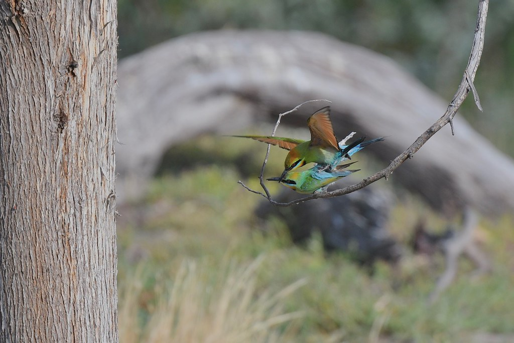 Rainbow Bee-eaters ( starting the new family )