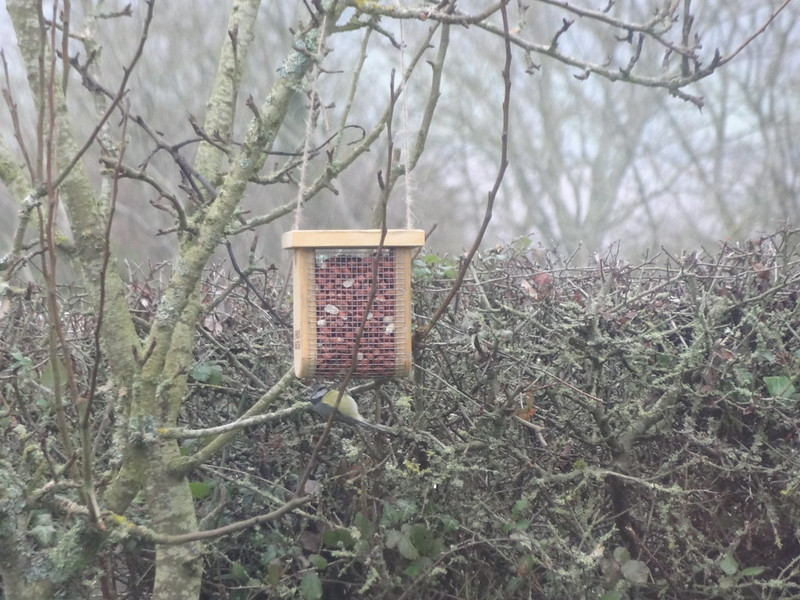 The Blue Tits have Found the Bird Feeder