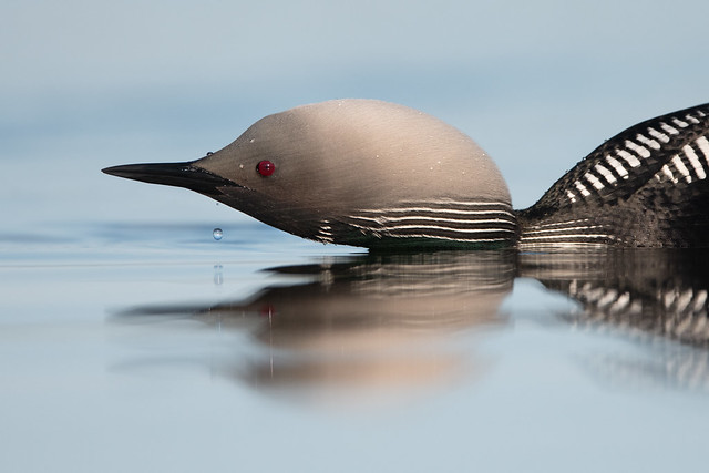 Pacific Loon - Nome