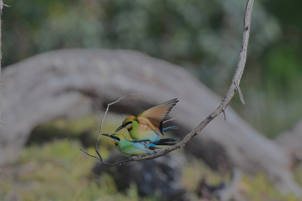 Rainbow Bee-eaters ( somehow this  all works )