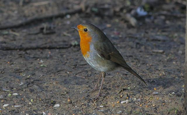 Woodland Robin Sussex