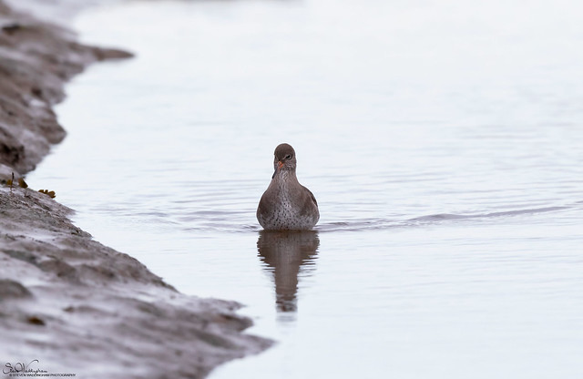 Redshank Wading