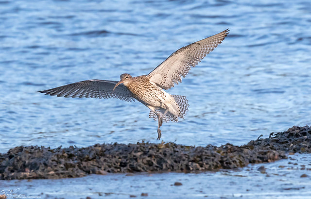 Settling Curlew