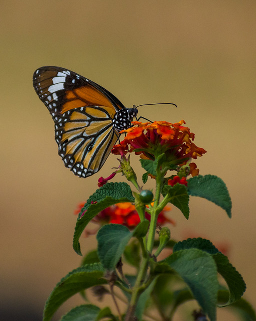 Striped Tiger Butterfly on Flowers