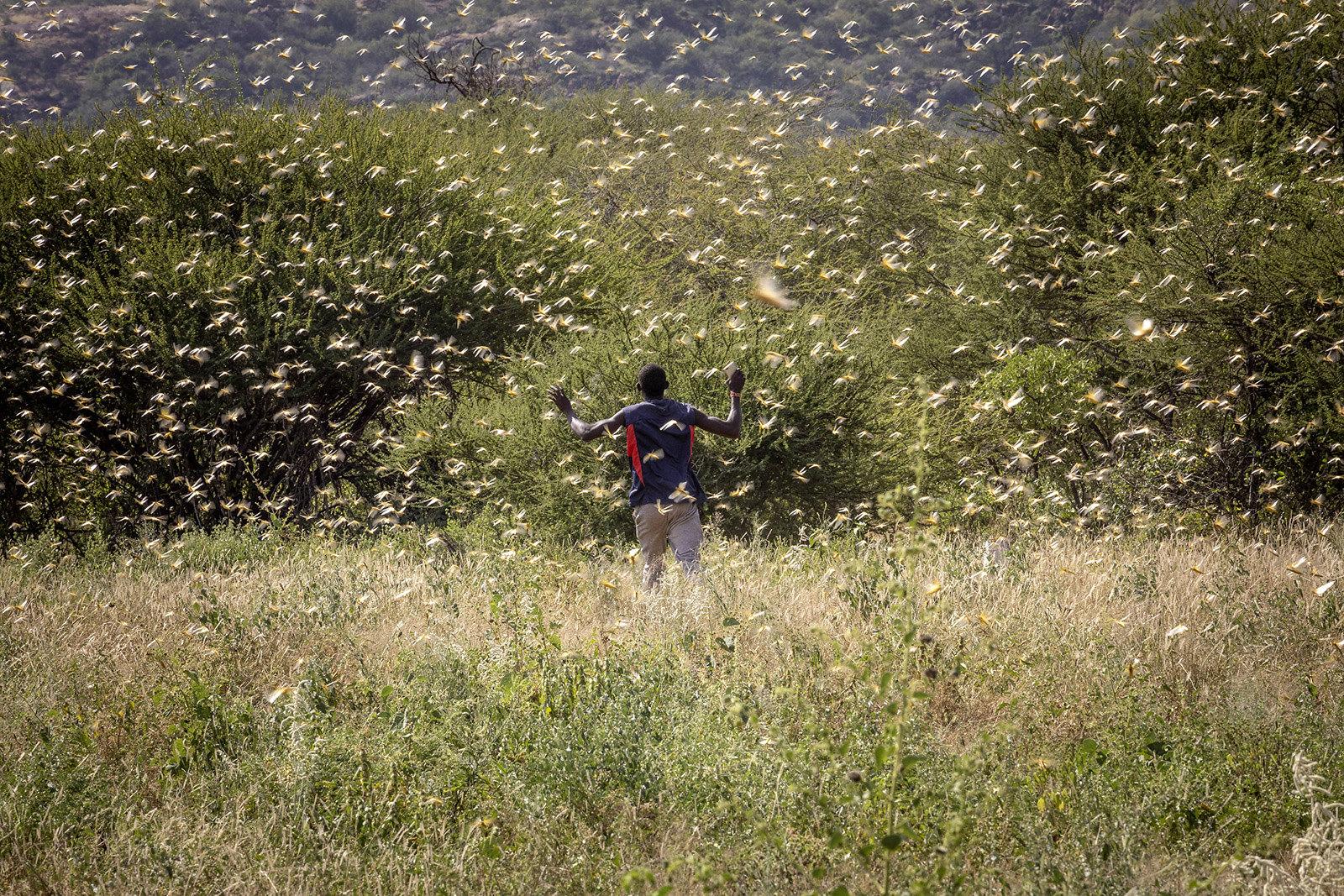Desert Locust outbreak in Kenya