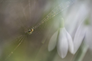 The Spider and the Snowdrops