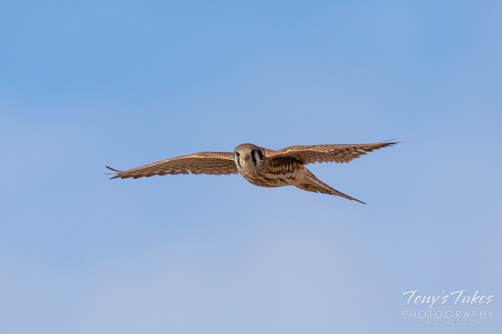 American kestrel on the hunt