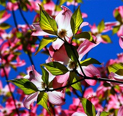 Pretty Pink Dogwood