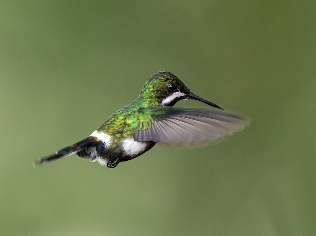 015A5336 Green Thorntail