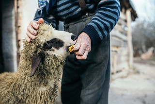 A sheep eating corn while being caressed by a farmer | by Ivan Radic