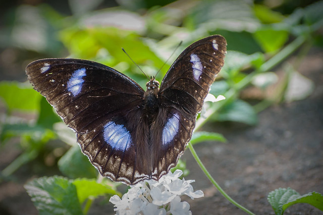 Great_Eggfly