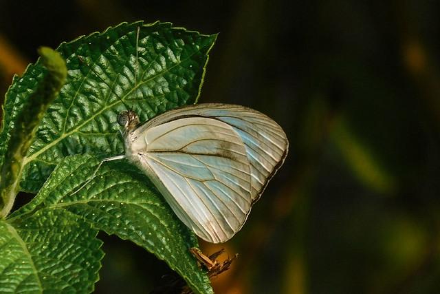 Common Wanderer Butterfly