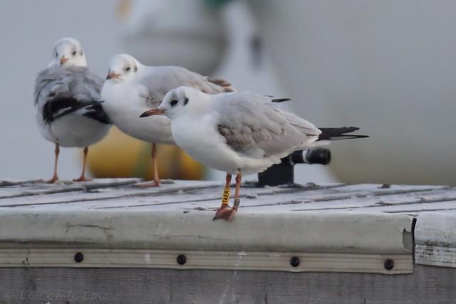 Mouette rieuse - Black-headed Gull (Chroicocephalus ridibundus) - Décines-Charpieu - Le Grand Large, sud (Rhône France, le 22 janvier 2020
