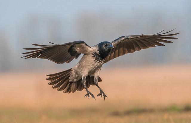 Landing / Szürke varjú (Corvus cornix)