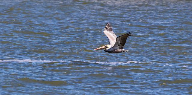 Brown Pelican in flight JN121555