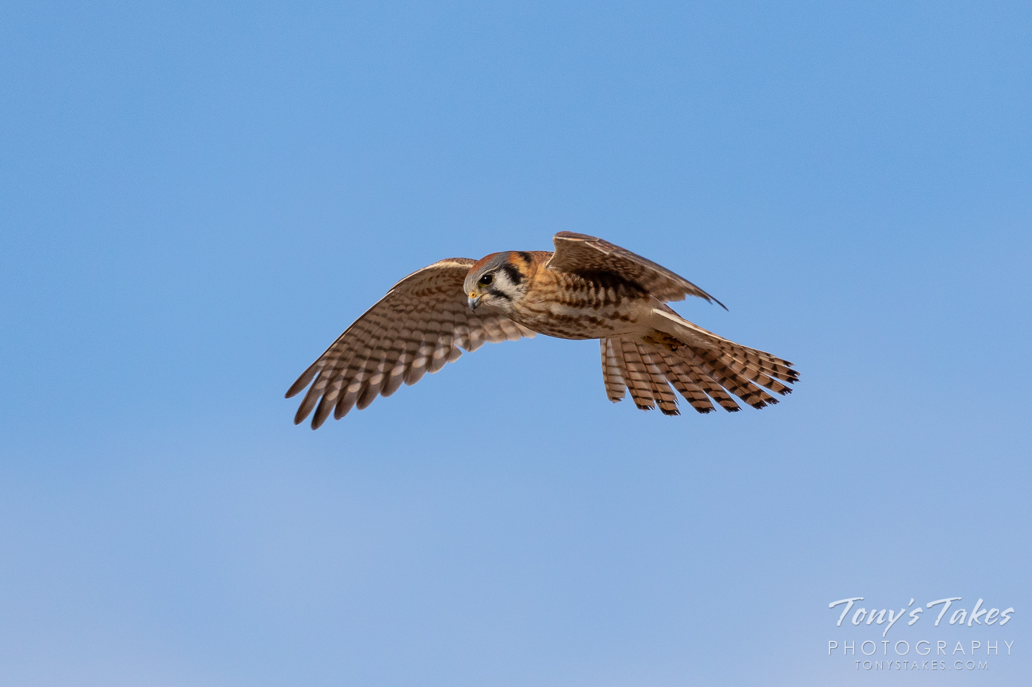 A female American kestrel hunts the plains of Colorado. (© Tony's Takes)
