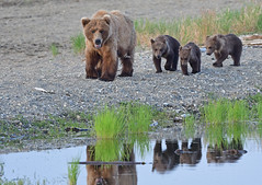 Brown Bear Family On the Go - Mom's Sure Busy With Her Triplets! 2050b