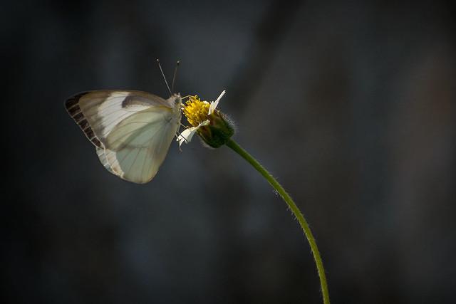 Common Albatross Butterfly