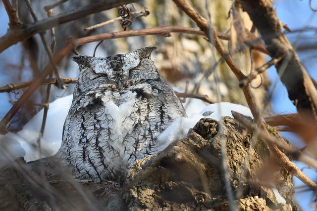 Chroniques d'Angrignon | Petit-duc maculé de forme grise au trou no 24 | Parc Angrignon | Arrondissement Sud-Ouest | Montréal