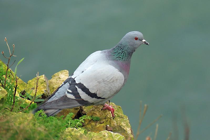 Feral Pigeon - Columba livia