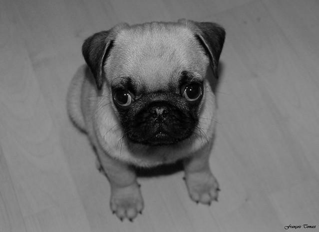 Ernest my pug !!!