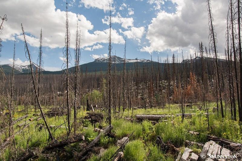 Medicine Lake, palanut metsä