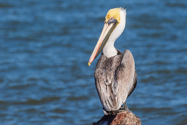 Brown Pelican JN121491