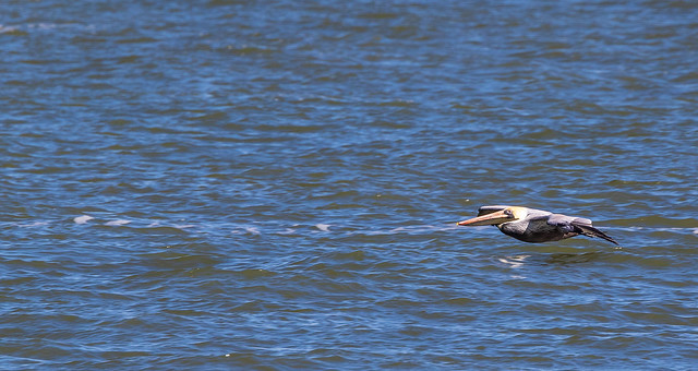 Brown Pelican in flight JN121557