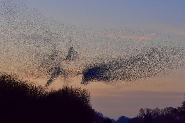 Starling murmuration - Somerset