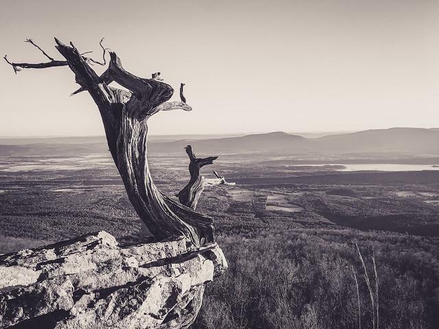 Mountain Juniper. Mount Magazine State Park. Arkansas. 2020.