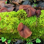 Jellied Ear fungus