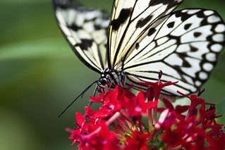 Paper Kite Butterfly Nectaring