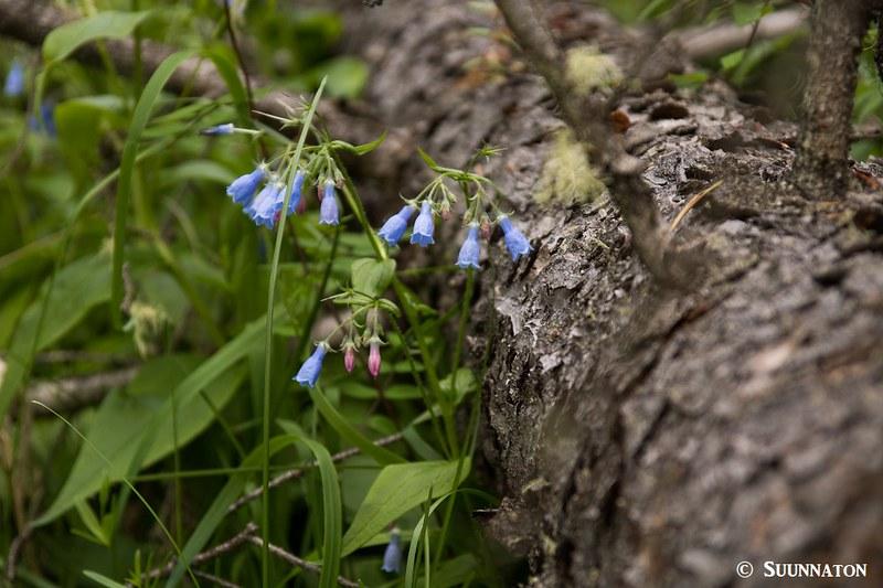 Sininen kukka, Pyramid Mountain, Jasper
