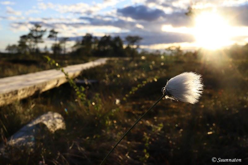 Torronsuon kansallispuisto, tupasvilla