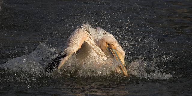 Roze pelikaan - Safaripark Beekse Bergen