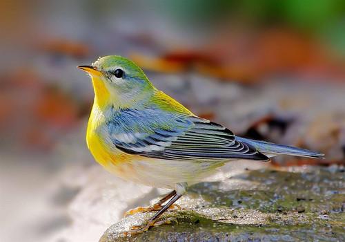 Northern Parula bird