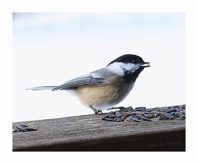 Black-capped Chickadee (Lens test)
