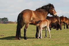 Exmoor and Foal on Greenham Common (c) A R Wallington 2011