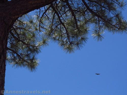 A hawk soars near Cape Royal, Grand Canyon National Park, Arizona