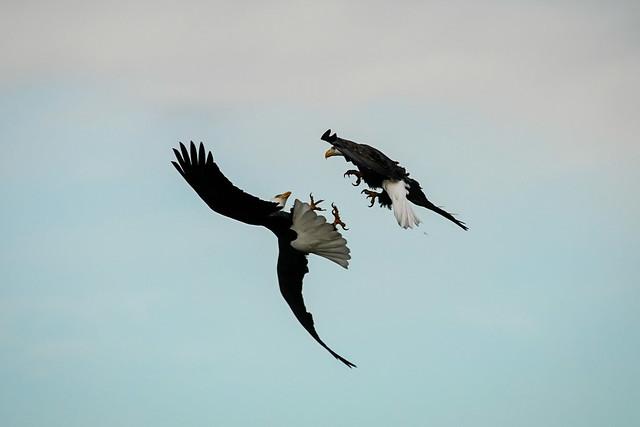 Eagle Shenanigans