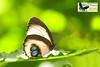 Elymnias agonda melanippe ♀
