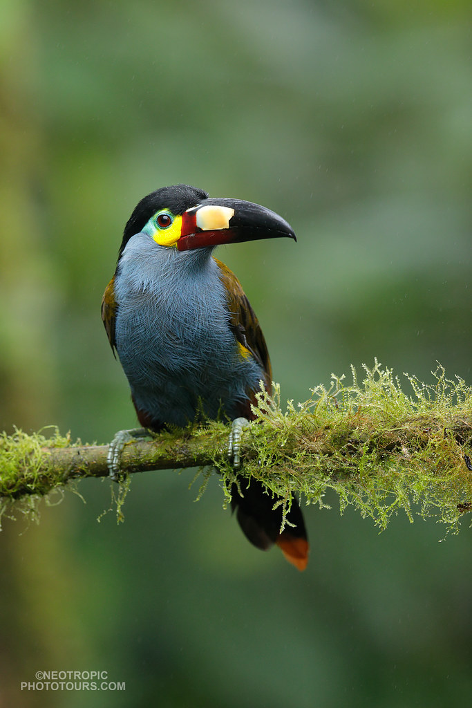 Plate-billed-Mountain Toucan
