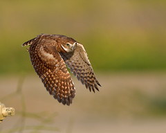 Burrowing Owl in flight  (由  Vetjoe