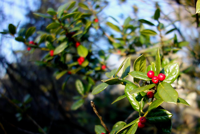 Red holly berries in winter